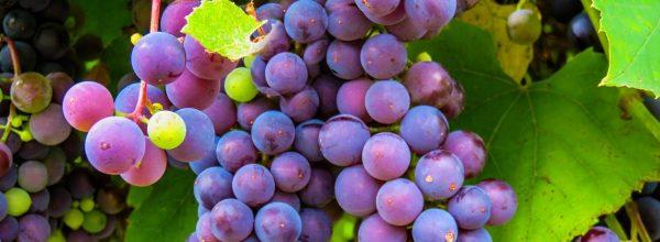 Versátil e com muitos derivados, consumo diário das uvas é ótimo para saúde